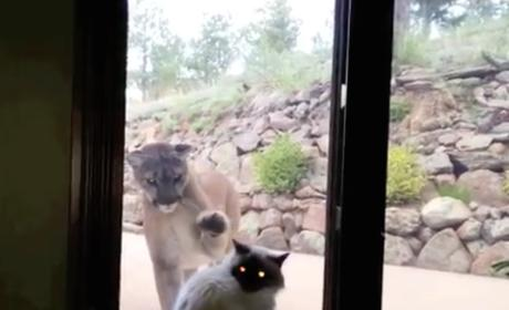 Courageous Cat Has No Fear of Mountain Lion