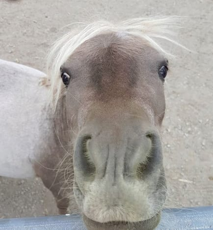 Miniature pony 03