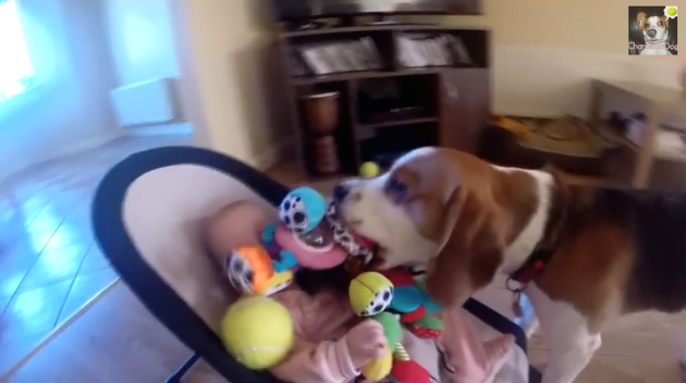 One Dog Steals Toys From The Other