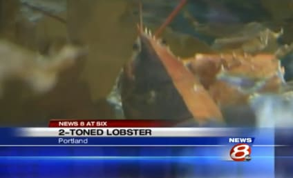Two-Toned Lobster: Caught Off Maine Coast! Wicked Cool-Looking!