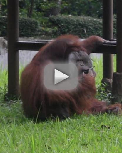 Orangutan snatches strewn cigarette animal rights activisits fli