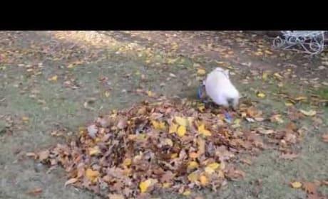 Pig Encounters First-Ever Pile of Leaves, Goes BESERK