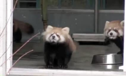Red Panda Scared By Zookeeper, Reacts in Hilarious Fashion