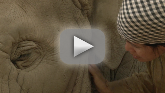 Woman Sings Elephant to Sleep
