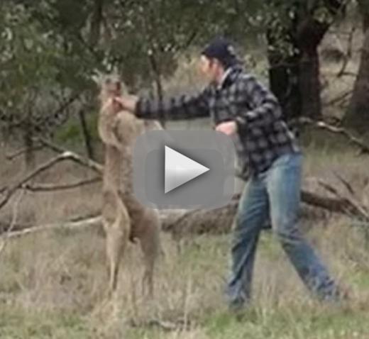 Man punches kangaroo saves dog in australia