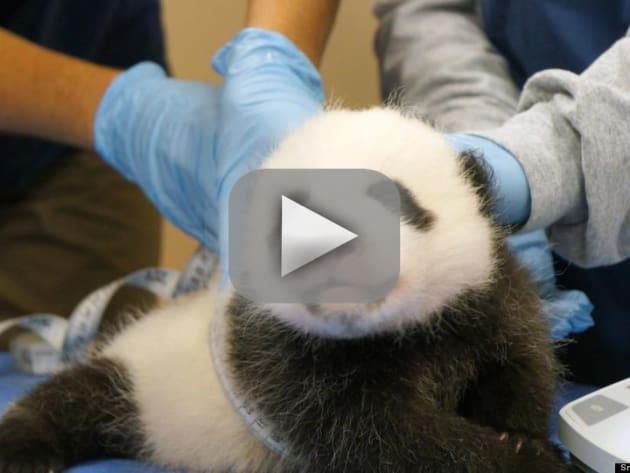 The Panda Cam Returns!