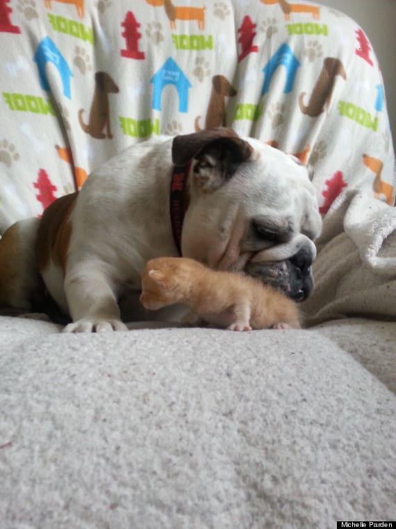 Kittens and a Bulldog