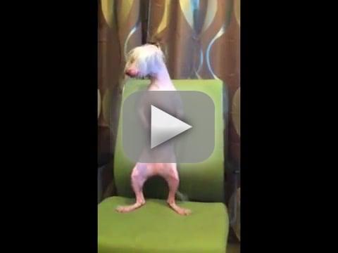 Dog Goes Gangnam Style