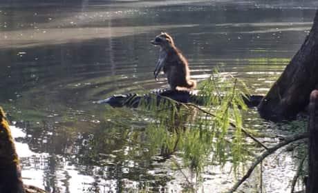 Florida Man Photographs Raccoon Riding an Alligator
