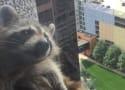 Raccoon Scales Skyscraper, Keeps Entire Internet on Edge