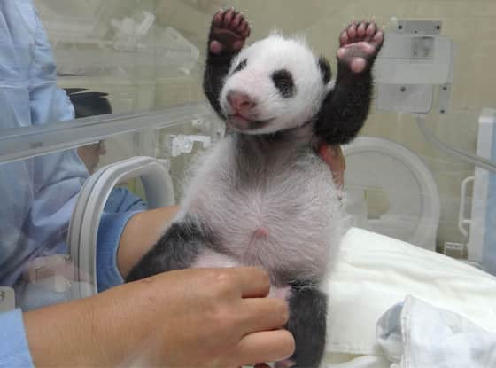 Baby Panda Picture