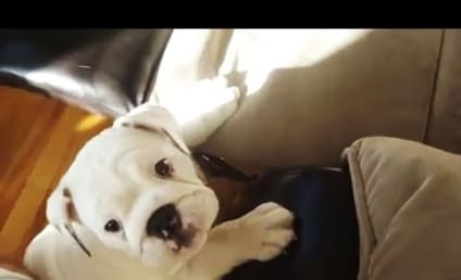 Puppies Try to Jump on Couches: A Compilation