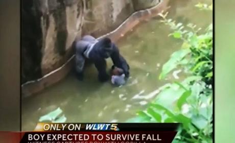 Cincinnati Zoo Gorilla Killed to Save Toddler's Life: Who's to Blame?