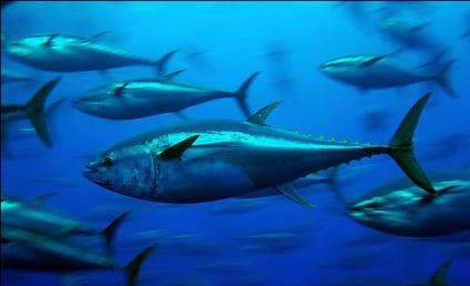 Bluefin Tuna in California: ALL Contaminated With Radiation