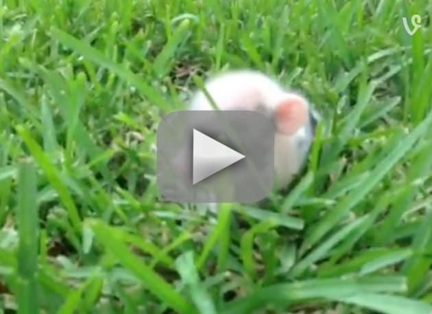 Piglet Hops Through Grass