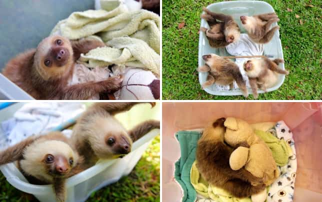 21 pictures of sloths being super cute do you wanna play with me