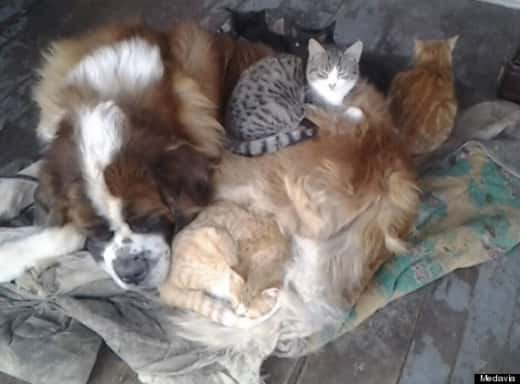 Yankee the St. Bernard Curls Up With Kittens