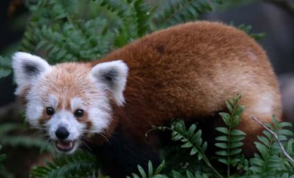 Red Panda Escapes From National Zoo, Turns Up in D.C. Neighborhood