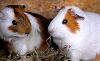 Neighbors Complain Over Loud Guinea Pig Sex