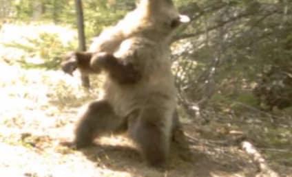 Bears Twerking: Video Captures Canadian Creatures Gettin' Down!