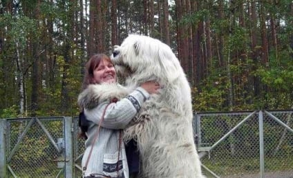 21 Giant Dogs Who Think They're Lap Dogs: Get Off Me Please!