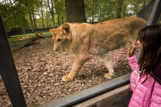 Lion in an Enclosure