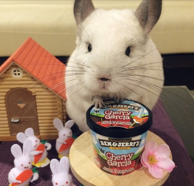 Chinchilla Eats Ice Cream