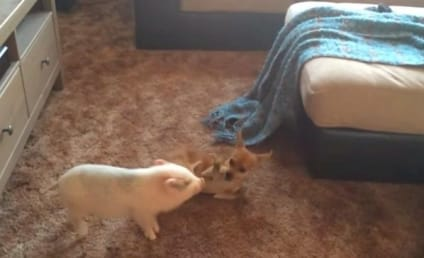 Piglet and Chihuahua Wrestle, Are Unexpected Best Friends