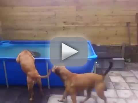 Bulldogs Rescue Giant Chew Toy