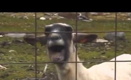 Taylor Swift - I Knew You Were A Goat When You Walked In