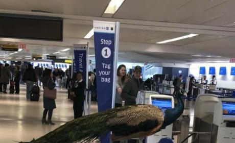 Emotional Support Peacock Gets Denied Seat on Airplane
