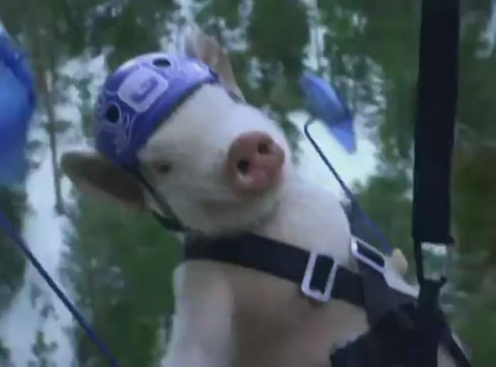 Maxwell the Geico Pig: Ziplining to Great Deals! - The Hollywood ...