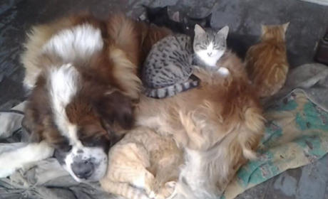 Yankee the St. Bernard Curls Up With Kittens