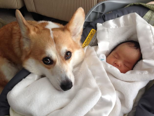 Corgi Embraces Baby Owner Keeps Loving Watch Over