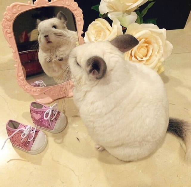 Chinchilla Admires Herself