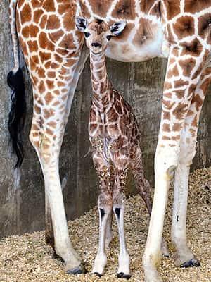 Sandy Hope (Baby Giraffe)