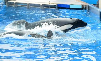 Tilikum, World's Most Famous Killer Whale, Dies at 36