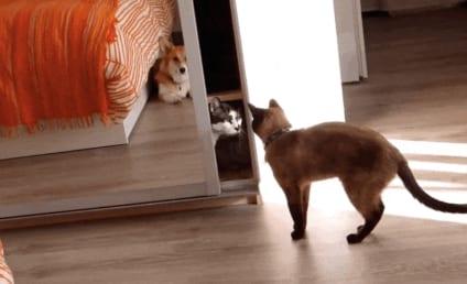 Cat Craves Privacy, Shuts Self in Closet