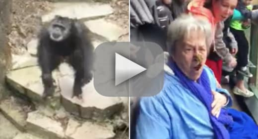Chimp hurls feces at zoo goes nails grandma in the face