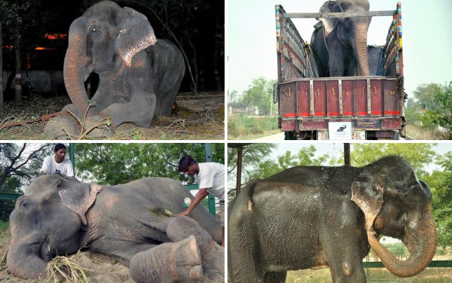 Elephant gets rescued from captivity raju the elephant