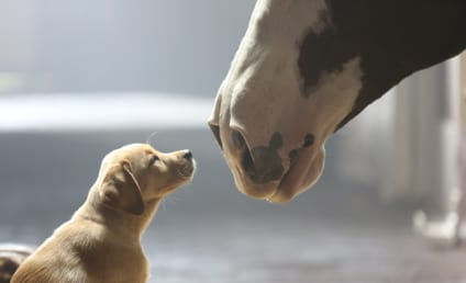 Budweiser Puppy Love Commercial: The Cutest Super Bowl Ad of All Time?