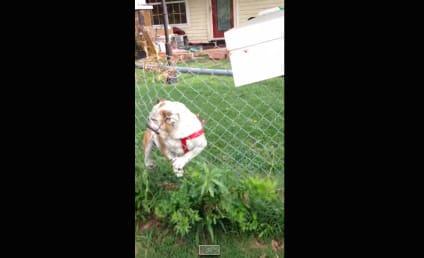 Fence Thwarts Dog's Attempt to Attack Mailman: CRASH!