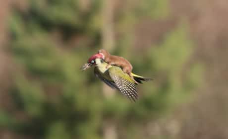 Weasel Rides on Bird