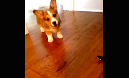 Corgi Takes on Spoon in Epic Battle Between Dog and Silverware