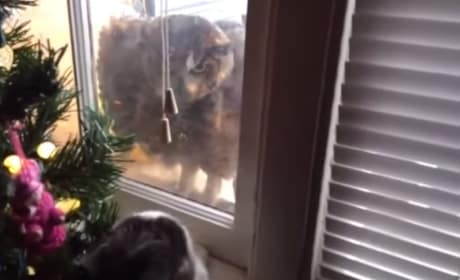 Cat Defends Home Against Angry Owl