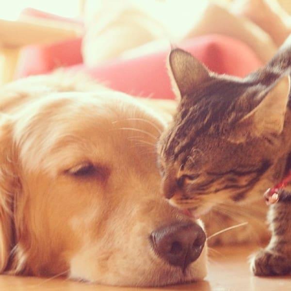 Golden Retriever Befriends Cat