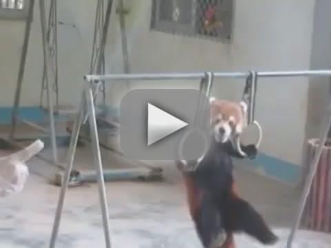 Red Panda Pull-Ups