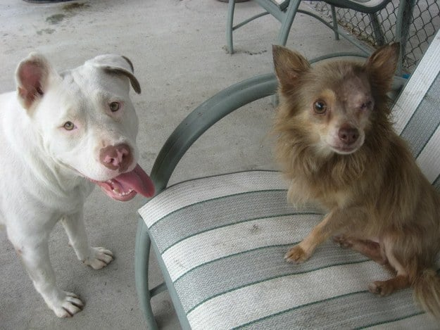 Pit Bull Saves Life Of Maimed Chihuahua See The Best
