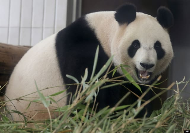 Pregnant panda