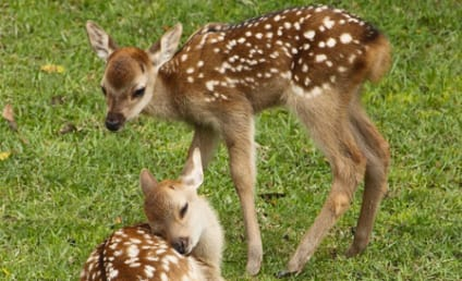 Baby Deer Delivered Via C-Section After Mother Struck By Car